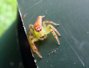 This is a clown spider. Somewhere, a sadistic God is laughing manically.